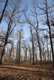 Bloße Bäume u. tote Blätter Lizenzfreies Stockbild