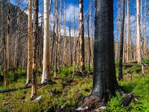 Bloße Bäume, verkohlt vom Feuer, Wald, Rocky Mountain National Park Lizenzfreie Stockfotos