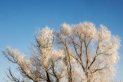 Bloße Baumaste im Winter umfasst mit Schnee gegen das Blau Lizenzfreies Stockfoto
