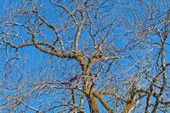 Bloße Baumbrunchs Lizenzfreie Stockfotografie