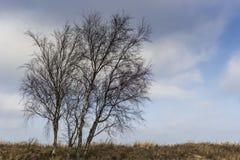 Bloße birchtrees Lizenzfreie Stockfotografie