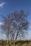 Bloße birchtrees an einem sonnigen Tag Stockfotografie