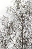 Bloße Birkennahaufnahme Stockfoto