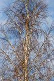 Bloße Birkenzweige an der Dämmerung im Park Lizenzfreie Stockfotos