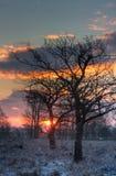 Bloße Eichen in der Leuchte des frühen Morgens Stockfotos