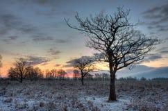 Bloße Eichen in der Leuchte des frühen Morgens Stockfoto