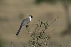 Bloße gegenübergestellt gehen Vogel, Corythaixoides-personata weg Stockfotos