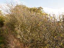Bloße Herbstniederlassungen schließen oben mit Schlehenbeeren Stockbild