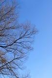 Bloße Niederlassungen des Baums über blauem Himmel Stockbilder