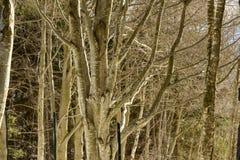 Bloße Niederlassungen im Winterholz, Italien Stockbild