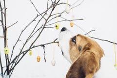 Bloße Niederlassungen mit bunten Ostern-Dekorationseiern und neugierigem Spürhund verfolgen das Schnüffeln Stockfotografie