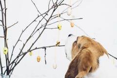 Bloße Niederlassungen mit bunten Ostern-Dekorationseiern und neugierigem Spürhund verfolgen das Schnüffeln Stockbilder