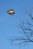 Bloße Niederlassungen von Bäumen mit Vogel Lizenzfreie Stockfotos