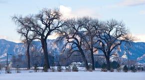 Bloße Pappeln im Winter Stockbild