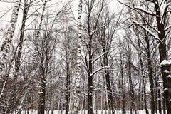 Bloße Stämme von Eichen und von Birken im schneebedeckten Wald Stockfotografie