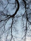 Bloße Winterbaumaste oder ein großer Buchenbaum mit blassem Himmel Stockfotografie