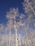 Bloße Winterespen gegen einen blauen Himmel Stockfotografie