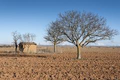 Bloßer allgemeiner Walnussbaum, Juglans Regia Lizenzfreies Stockfoto
