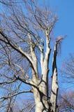 Bloßer alter Buchenbaum Stockfoto