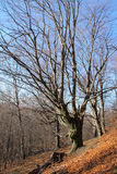 Bloßer alter großer Baum Stockfotografie
