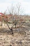 Bloßer Apfelbaum im Landhinterhofgarten Lizenzfreies Stockfoto