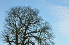 Bloßer Baum auf blauem Himmel Lizenzfreie Stockfotos