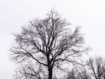Bloßer Baum auf einem weißen Hintergrund Schattenbild gegen den Himmel Stockbilder