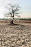 Bloßer Baum in den Dünen von Treibsanden Stockbild