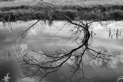 Bloßer Baum, der weg vom Wasser sich reflektiert Stockbilder