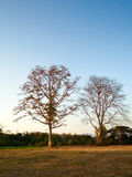 Bloßer Baum an einem klaren Abend Stockbilder