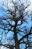 Bloßer Baum gegen den blauen Himmel Stockbilder
