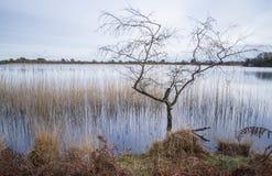 Bloßer Baum im See mit Reedreflexionen Stockbilder