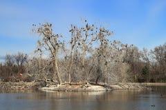 Bloßer Baum im Vorfrühling und in den schwarzen Vögeln im Stadt-Park, Denver lizenzfreie stockbilder