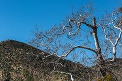 Bloßer Baum im Winter mit Bergspitze am Auftrag schleppt Park Stockfotografie