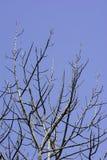 Bloßer Baum mit blauem Himmel Lizenzfreie Stockfotografie
