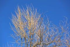 Bloßer Baum mit Gelb vieler Niederlassungen Lizenzfreie Stockfotografie