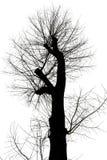 Bloßer Baum mit geschnittenen Niederlassungen im Winter Stockbild