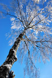Bloßer Birkenbaum mit Raureiffrost Stockfoto