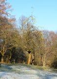 Bloßer Birnenbaum Stockfotos