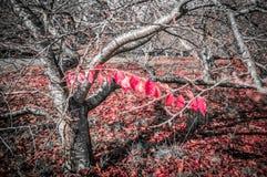 Bloßer Kirschbaum im Herbst mit nur einer Niederlassung mit roten Blättern Stockbild
