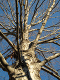 Bloßer November-Baum Lizenzfreies Stockfoto