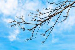 Bloßer Quittezweig mit Hintergrund des blauen Himmels Stockfoto