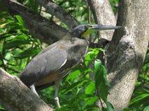 Bloßer Throated Tiger Heron Lizenzfreies Stockbild