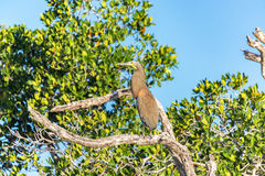 Bloßer Throated Tiger Heron Stockfoto