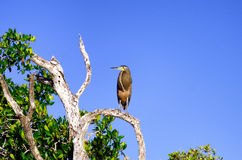 Bloßer Throated Tiger Heron im Baum in Rio Lagartos Stockfotografie