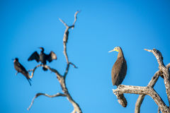 Bloßer Throated Tiger Heron und andere Vögel Stockbild