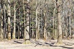 Bloßer Wald der Eichen im Frühjahr Stockfoto