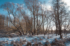 Bloßer Wald mit Snowy rieb auf Sunny Winter Day Stockbilder
