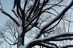 Bloßer Winterhimmel der Baumbirke Lizenzfreie Stockfotos