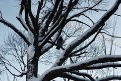 Bloßer Winterhimmel der Baumbirke Lizenzfreie Stockbilder